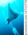 Swimming Manta Ray  15713779