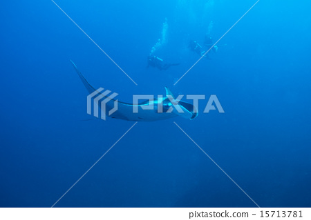 Swimming Manta Ray  15713781