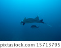 Swimming Manta Ray  15713795