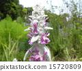ชื่อญี่ปุ่นเป็นดอกไม้สีม่วงกัด 15720809