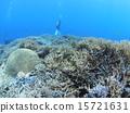 分叉珊瑚 珊瑚礁 西表岛 15721631