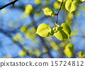 leaves, background, green 15724812