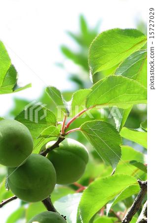 Harvest soon! Our plum 15727029
