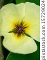 水罌粟,南美洲 15729024