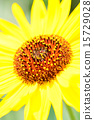 向日葵,向日葵 15729028