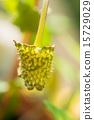 一種dolostenia,伯利茲 15729029