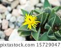 Focalia·Rongidense,Mesenaceae 15729047