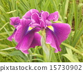 iridaceae, iris, bloom 15730902