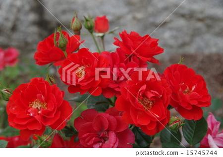 Rose red 15745744