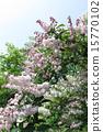 초여름을 장식 卯の花 15770102