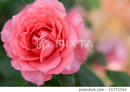 Rose (Itsukushima) 15773564