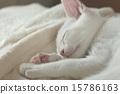 小猫 猫 猫咪 15786163
