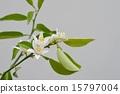 柑桔類 開花 花卉 15797004