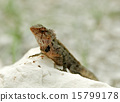 lizard, reptile, wildlife 15799178