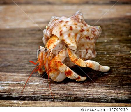 Hermit Crab 15799259
