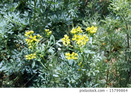 Herb Roux flowers 15799864