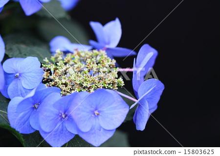 수국 블루 스카이 15803625