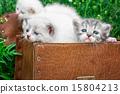 สัตว์,สัตว์ต่างๆ,ลูกแมว 15804213