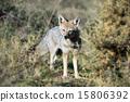 fox hunting grass 15806392