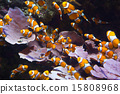 Orange clownfish 15808968