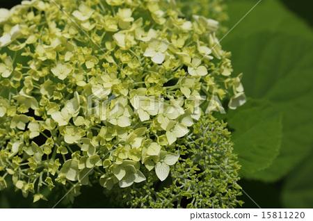 Annabelle flowers 15811220