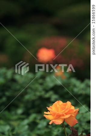 玫瑰 玫瑰花 花朵 15866599