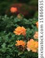 玫瑰 玫瑰花 花朵 15866635