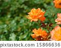 玫瑰 玫瑰花 花朵 15866636