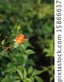 玫瑰 玫瑰花 花朵 15866637