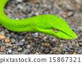 Oriental Whipsnake or Asian Vine Snake 15867321