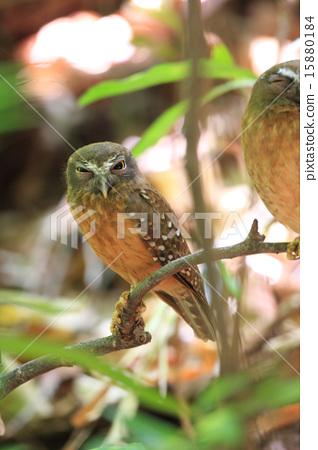 인도네시아 술라웨시 섬의 조류 · 차 장미 솔부엉이 15880184
