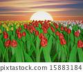 Tulips 15883184