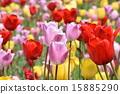 Tulip 15885290