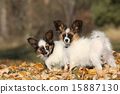 Amazing paillon puppies in autumn 15887130
