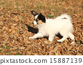 Amazing paillon puppy running in autumn 15887139