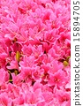Pink azalea 15894705