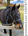 livestock, ranch, horse 15897877