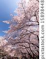벚꽃이 만개 한 우에노 공원 15898448
