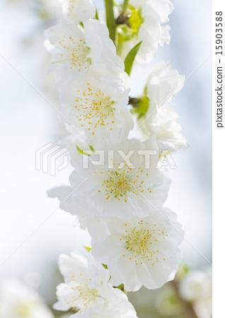 흰 복숭아 꽃 15903588