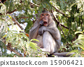 Long-tailed macaque Crab-eating macaque 15906421