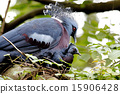 Victoria crowned pigeon Goura victoria 15906428