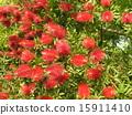 芸苔nucifera红色花在Kojima公园花园里 15911410