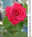 rose, flower, bloom 15912490