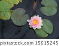 睡莲 花朵 花卉 15915245