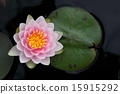 睡莲 花朵 花卉 15915292