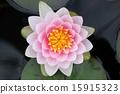 睡莲 花朵 花卉 15915323