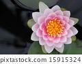 睡莲 花朵 花卉 15915324