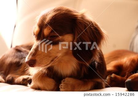 Dogs doze asleep 15942286