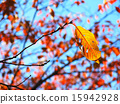 잎, 단풍, 벚꽃 15942928