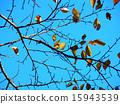 잎, 단풍, 벚꽃 15943539
